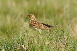 Skylark May Disappear from Richmond Park